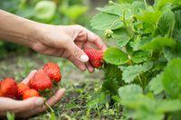 Nowe zasady rozliczania wynagrodzenia za pomoc przy zbiorach płodów rolnych
