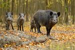 Afrykański pomór świń w Polsce. Duży problem hodowców i eksporterów wieprzowiny