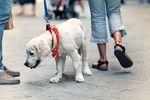 Podatek od psa to danina na rzecz gminy