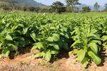 Sprzedaż liści tytoniu bez podatku akcyzowego?