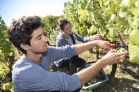 Zbieranie winogron