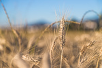 Ceny produktów rolnych VI 2018