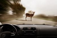 Zwierzę na drodze