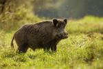 Podlasie: kolejne dwa dziki chore na ASF