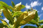 Sprzedaż liści tytoniu a podatek akcyzowy