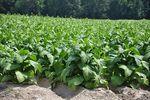 Sprzedaż surowych liści tytoniu a podatek akcyzowy
