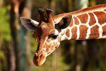 Relacje w pracy. Jesteś szakalem czy żyrafą?