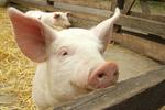 ASF postępuje. Zarażone świnie pod Białymstokiem